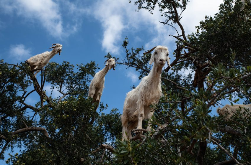 Family of Goats Shot 173 Times By Police After Young Child Falls Into Their Zoo Enclosure