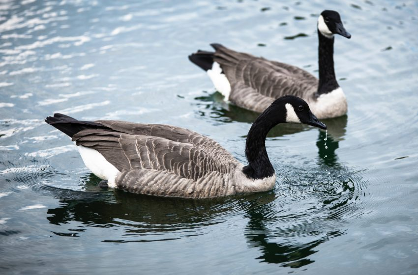 Man Sick of Canadian Geese Wants Giant Wall Built Along the Entire Canadian Border to Keep Them Out