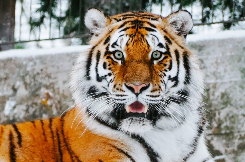 Man Upset and Confused After Coming Home Finding His Pet Tiger Eating His Entire Family