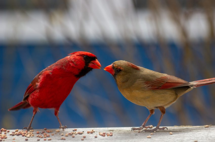 New Study Confirms Male Cardinals are Way Fucking Hotter Than 'Ugly Ass' Female Cardinals