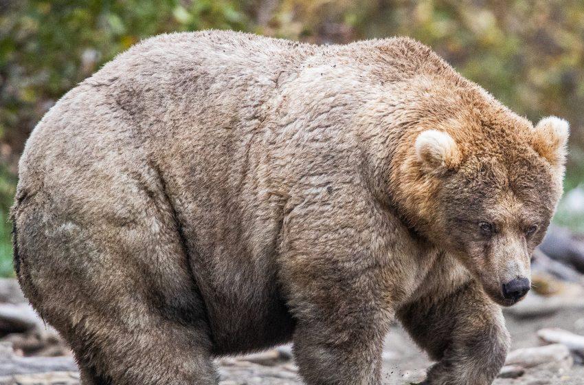 Buffalo Sabres Sign Four Time Winner of the Fattest Bear Award Otis to Play Goaltender